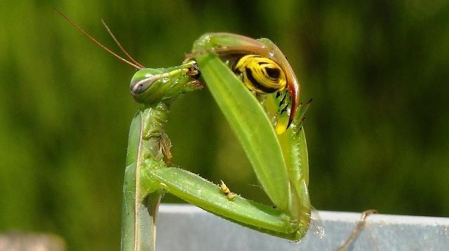獲物を食べるカマキリ