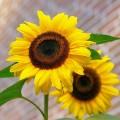sunflower-448654_640