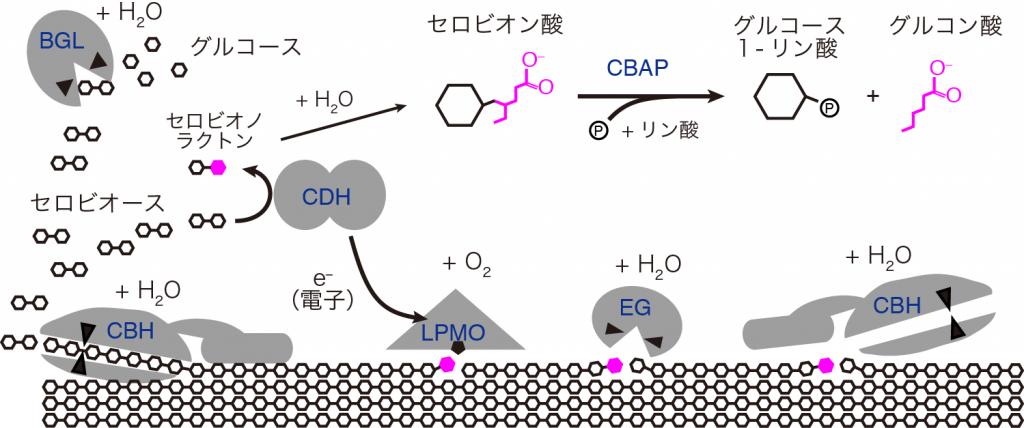 図3 微生物の酵素によるセルロースの分解