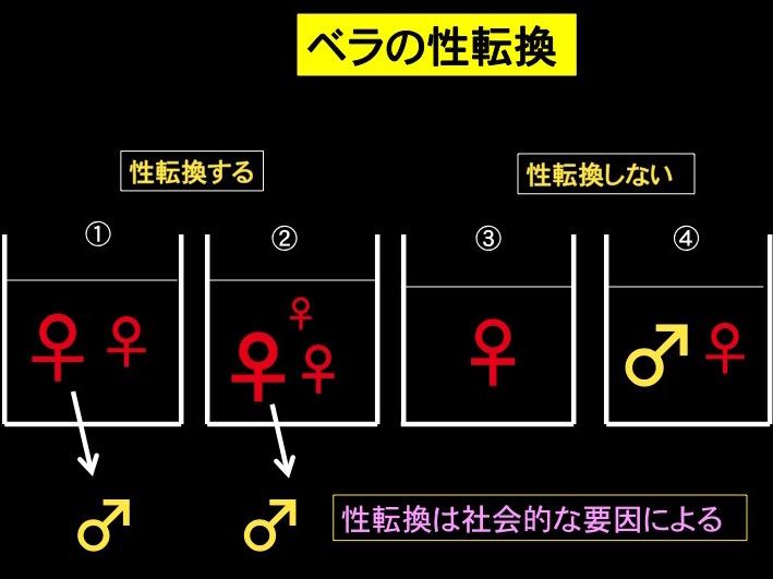 図3 ベラの性転換 ①メス2尾で飼育すると、大きい方がオスへ性転換           ②メス3尾では一番大きな個体がオスへ性転換           ③メス単独では性転換しない           ④大きなオスと小さなメスでは性転換しない