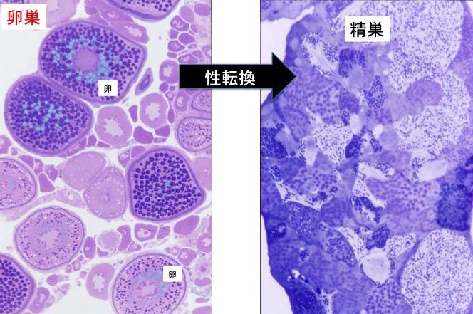 写真4 ハワイのベラの性転換、卵巣が精巣に換わる。卵巣中には多数の卵(大小の丸いもの)だけで精巣組織はないが、性転換後には卵が無くなり精子(黒い小さなつぶつぶ)だけとなる。