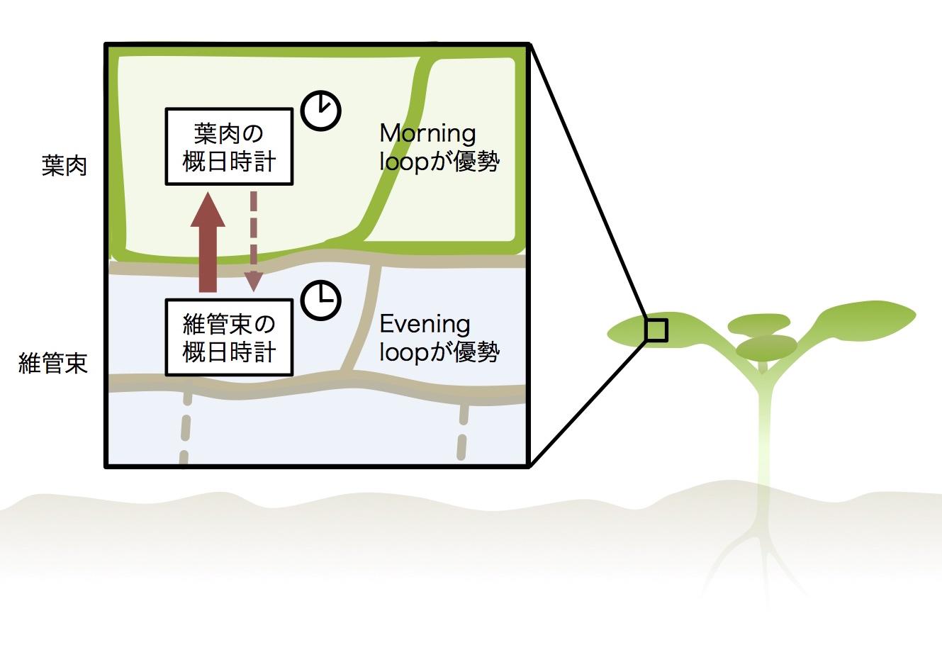 図2 維管束と葉肉間の概日時計の階層性