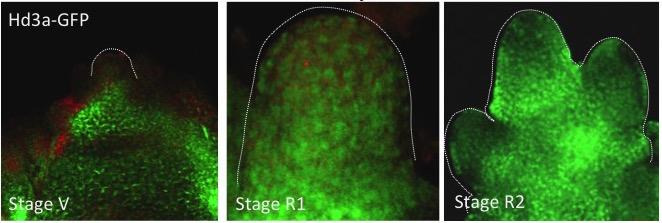 茎の先端部分に集まるフロリゲン(辻氏提供)
