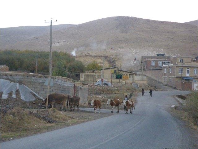 山の牧草地から家路に就く牛の群れ(筆者撮影)