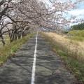 写真2:請戸川の桜並木(2013年4月11日撮影)