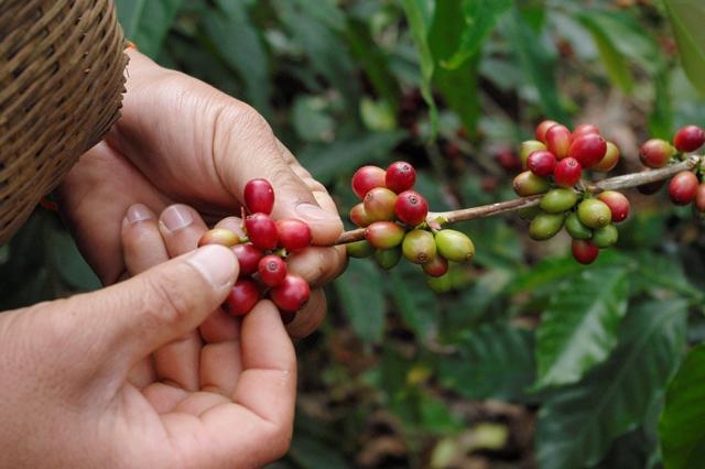 写真3:収穫されるコーヒーの実(筆者撮影)