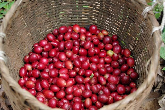 写真4:収穫されたコーヒーの実(筆者撮影)