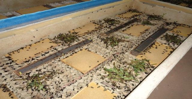 【写真7】食用に養殖されているヨーロッパイエコオロギ。(タイにて;写真提供:高松裕希)