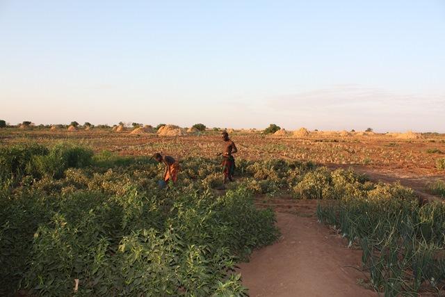 写真手前は地域住民に提供された小さな畑。写真の男性は幸運にも少量のトマトを収穫できた。奥に広がるのが、すでに収穫を終えた商業農場のトウモロコシ畑。