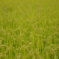 yamadas-rice-fields-285312_960_720