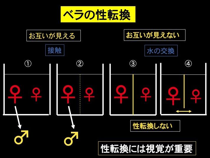 図4 ベラの性転換 ①お互いが見え、接触し、匂いを感じると性転換           ②お互いが見え、接触出来ない、匂いを感じても性転換           ③お互いが見えず、接触できない、匂いを感じないと性転換しない           ④お互いが見えず、接触できない、匂いを感じても性転換しない