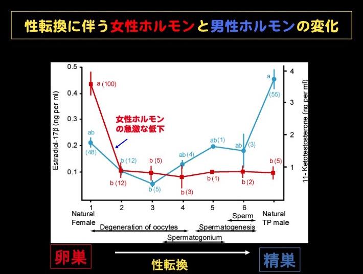 表1 ベラの性転換に伴う女性ホルモンと男性ホルモン変化、性転換の開始にともない急激に女性ホルモンが低下する。