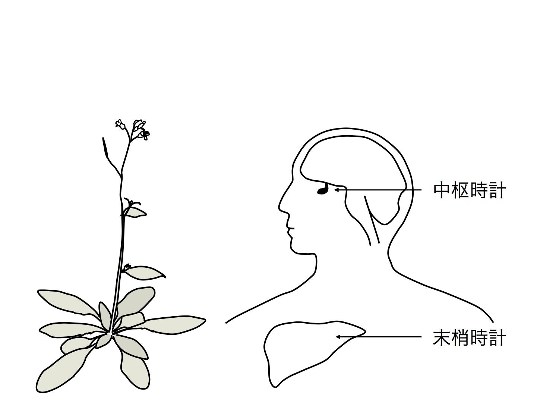 図1 動物には中枢時計と末梢時計がある。植物にも「脳」のような中枢はあるのか?