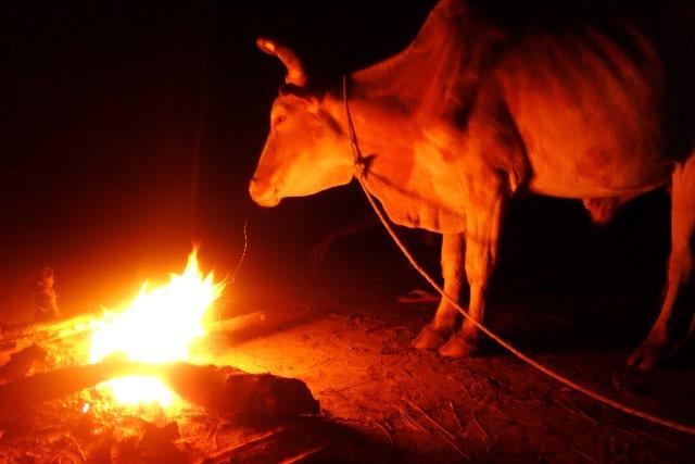 新年を祝うセレモニーの際に供犠されるウシ。夜通しウシのまわりに火をくべるのは、夜明けの供犠までウシの心を落ち着かせるためだという(2013年1月筆者撮影)