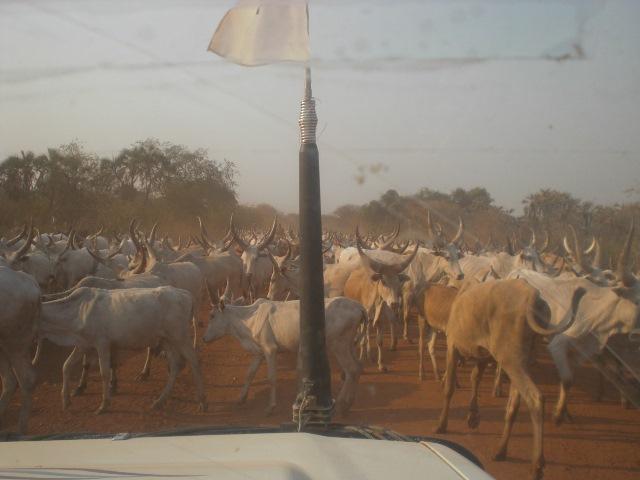調査地に向かう途中。見渡す限りのウシの「渋滞」。近年では、南スーダンの村落部では、ウシをはじめとする家畜をめぐる争いが凄惨化することも多い。(2011年11月筆者撮影)