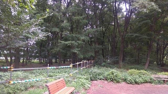 小平中央公園の雑木林。 柵の左側(東側)が伐採され、道路になる。