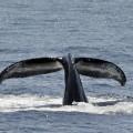 humpback-whale-1033975_640