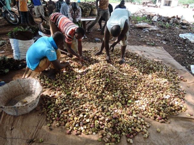 移民労働者の若者は品質の悪いコーラナッツを取り除いて輸送用の袋に詰める
