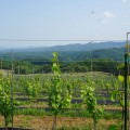 川内村ワイン葡萄畑
