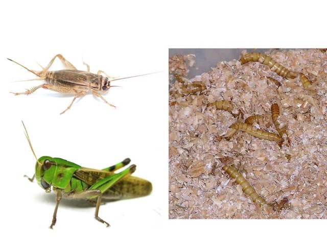 """小さな""""手乗り家畜mini livestock""""たち(左上:ヨーロッパイエコオロギ、wikipediaより、左下:トノサマバッタ、蟲ソムリエへの道、右:ミールワーム wikipediaより)"""