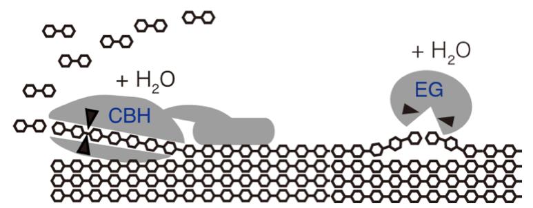 図1(左)セロビオヒドロラーゼ(CBH)、(右)エンドグルカナーゼ(EG)