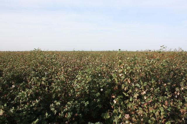 私の調査村の近くにつくられた綿花農場。周囲にくらす牧畜民からは、綿花には多量の農薬がまかれるため、その葉や茎を食べた家畜が病気になったり死亡したりしているとの話を聞いた。