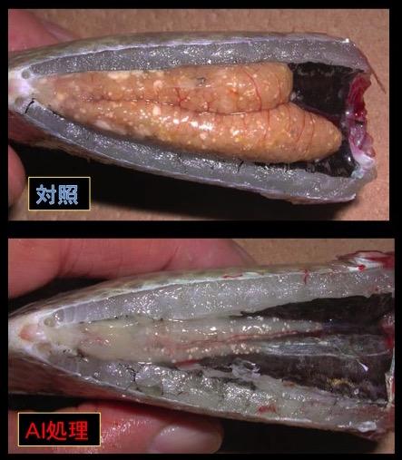 写真6 ティラピアの生殖腺、AIを長期間投与した魚の卵巣は精巣へ転換する。投与しない魚(対照)の卵巣は成熟したままである。
