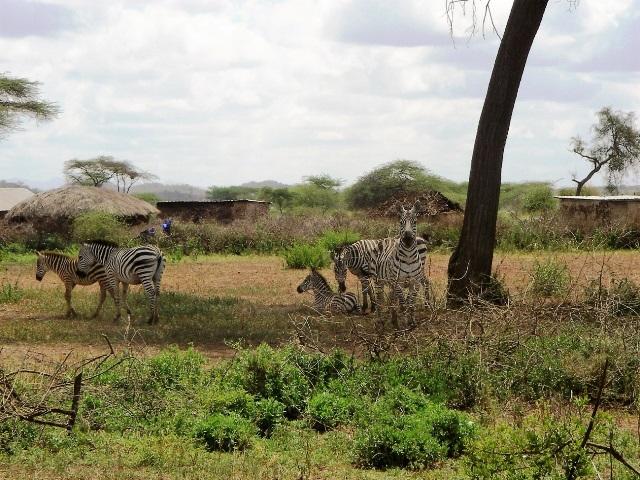 集落のすぐ近くに現れたシマウマ。シマウマのような草食動物であれば、マサイも追い払ったり避けたりすることはない。
