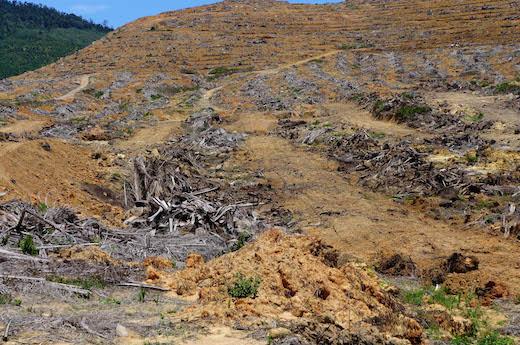 30年以上がたって樹の生産性がおちてくると、植え替えられる。[2016年4月、マレーシア・サバ州にて筆者撮影]