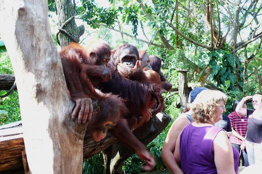シンガポール動物園はマレーシアとインドネシアで保護されたオランウータンのほか、人工繁殖させたものもふくめ、世界最大のオランウータンの展示数をほこっている。[2008年3月、シンガポール動物園にて筆者撮影]